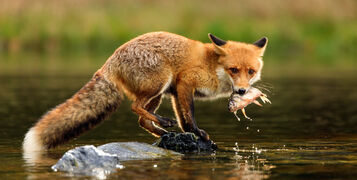 25 Amazing Facts About Foxes