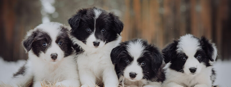 Are Border Collies Good Pets? Border Collie FAQs
